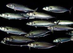 Får man äta fisk? – så gör du kloka val