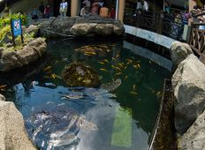 Havssköldpaddor i en guldfiskdamm