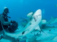 En dag på jobbet - hajmatare på Bahamas