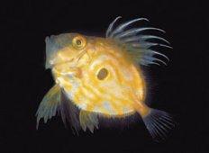 Sankt Pers fisk
