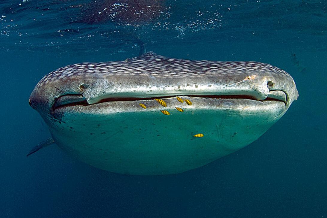 Valhajarna i Djibouti  – närkontakt med havets största fisk