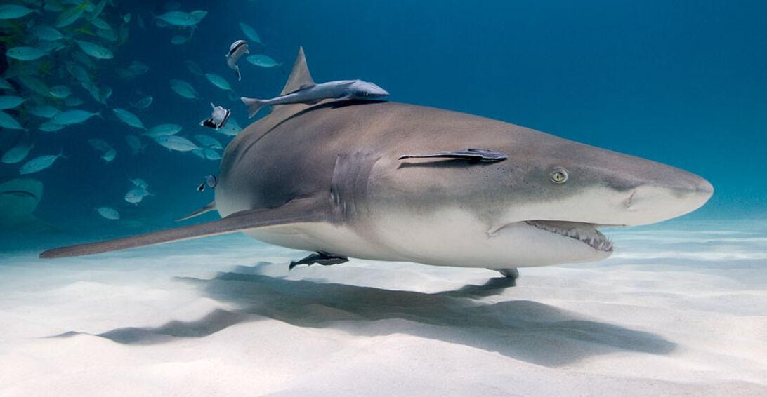 Sharkoholics – bland hajmissbrukare på Bahamas
