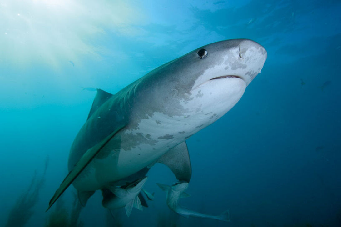 Hajlexikon: Tigerhaj – Galeocerdo cuvier