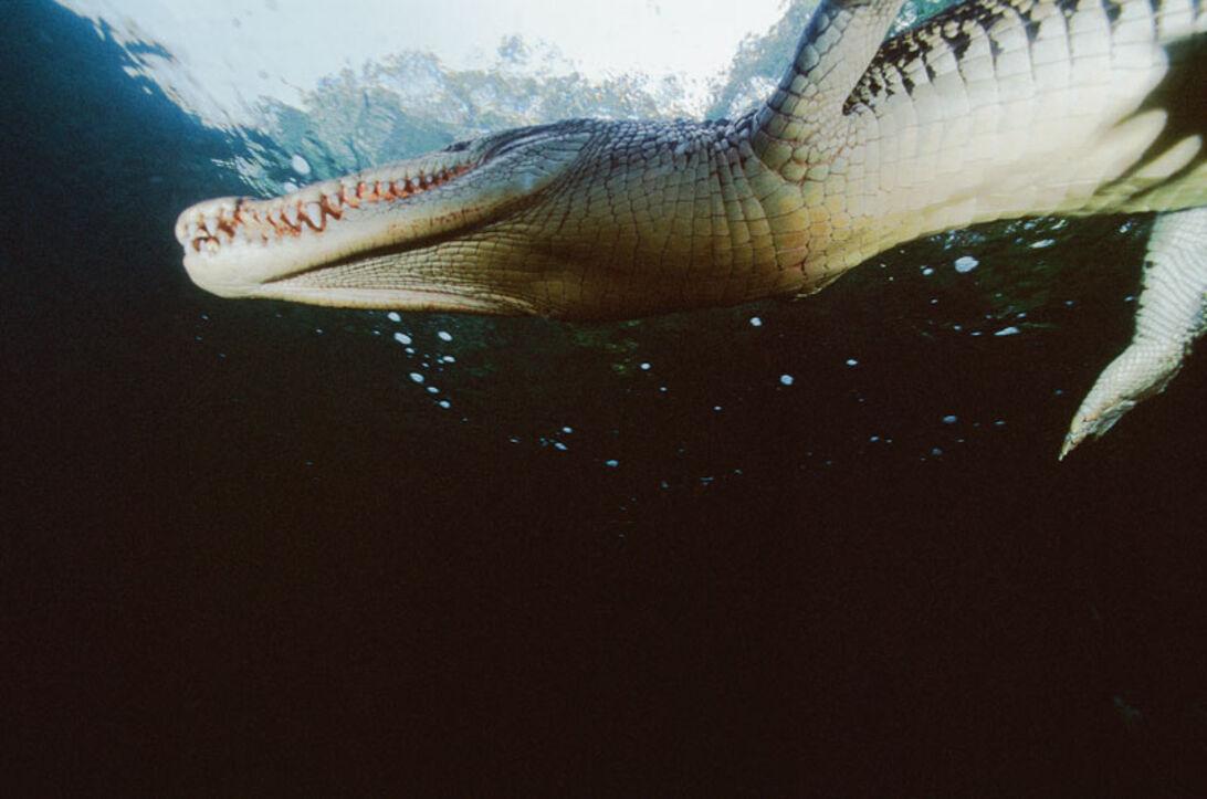 Nära Ögat – krokodilattack