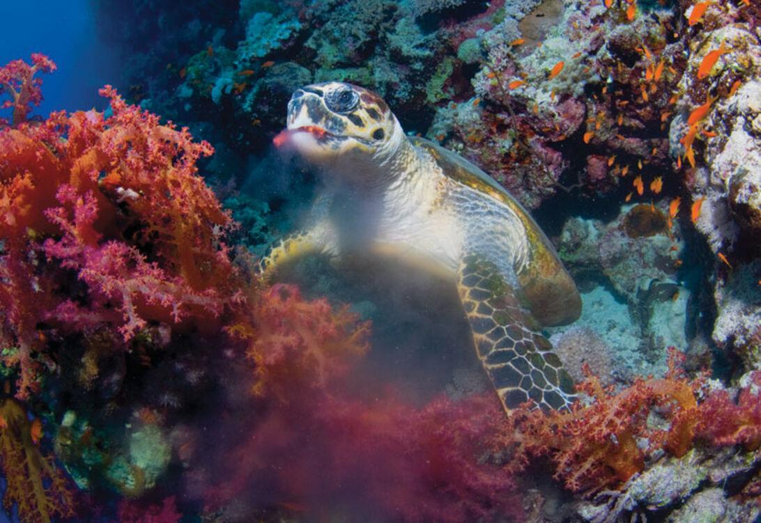 Vi fick se karettsköldpadda på nästan vartenda dyk.