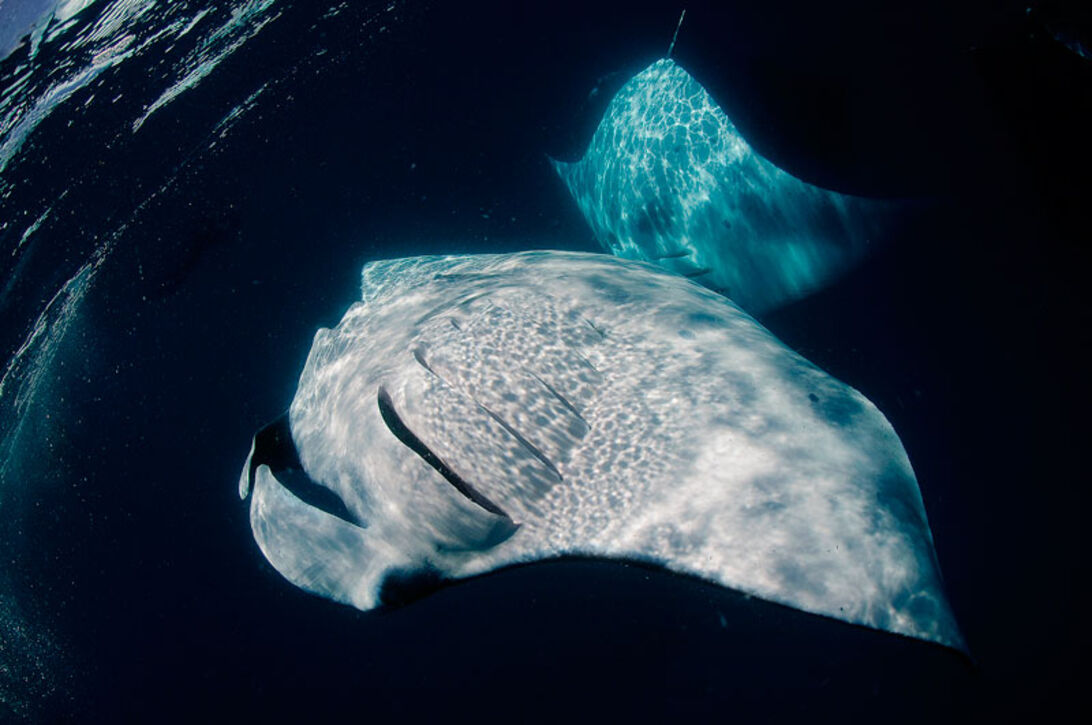 Mantastisk – Maldivernas mantor vid Hanifaru