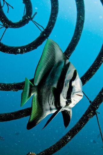 En läderlappsfisk utanför Seaventure.