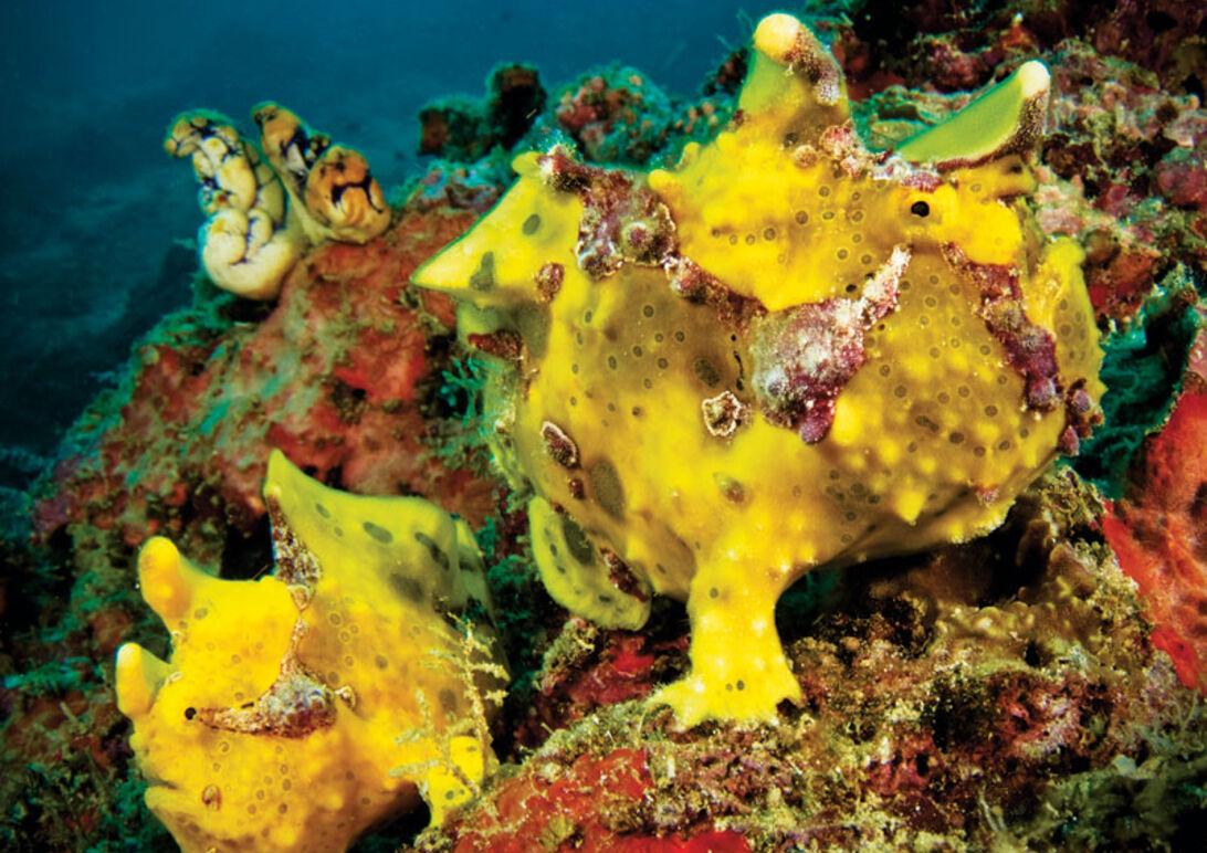 En frogfish är inte alltid så lätt att få syn på - trots sina klara färger.