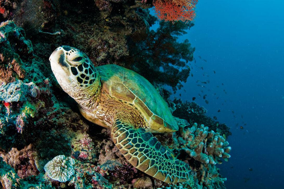 Det är framför allt sköldpaddorna som gjort Sipadan berömt.