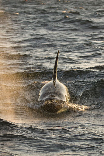 Späckhuggare – på safari i Norge