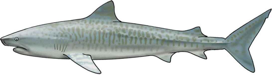 De fyras gäng – hajarna du bör ha koll på