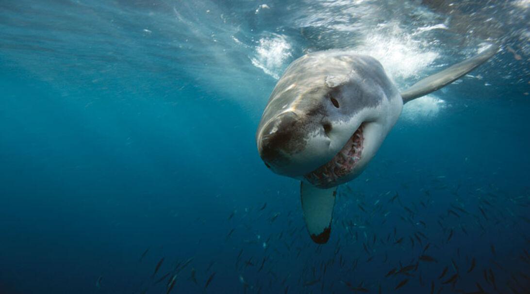 Vithajen – Neptune Islands härskare