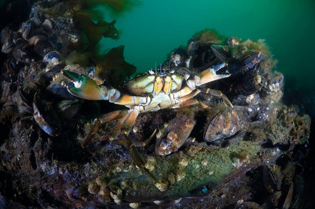 På vraket finns det gott om marint liv.