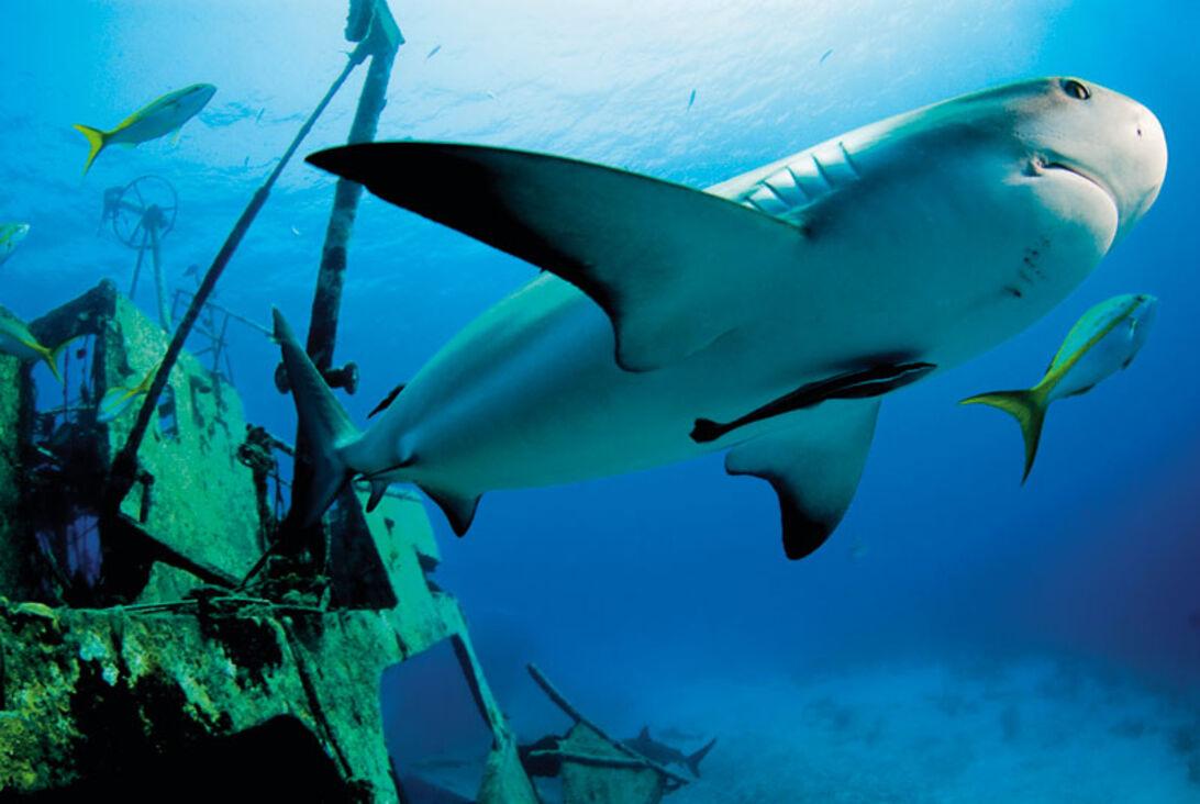Bahamas – På hajcirkus hos Stuart Cove