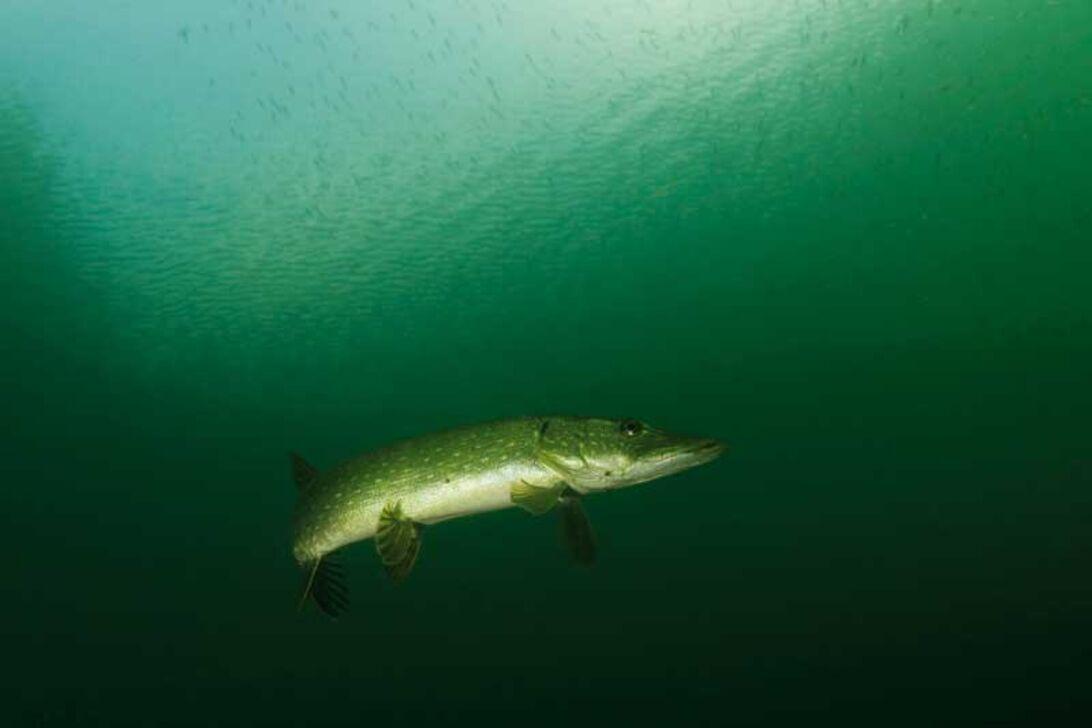 Dyka med gäddor – Insjöarnas krokodil