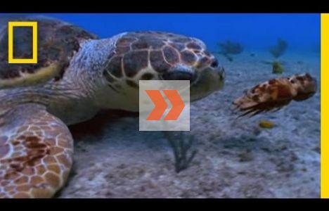 Oäkta karett på hummerjakt. Video: National Geographic