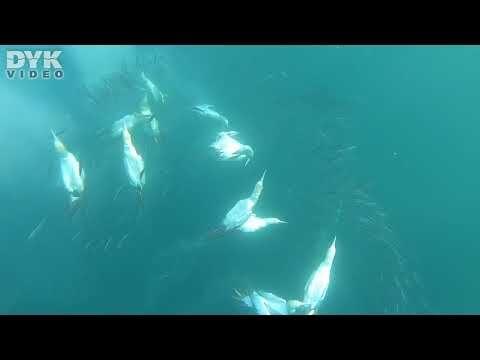 Sardine Run in South Africa – gannets diving to hunt the gannets.  Video: Helene-Julie Zofia Paamand Music: Dexter Britain – Wak