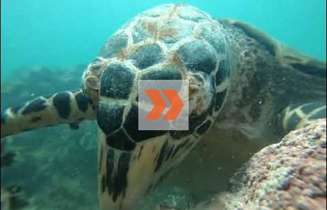 Karettsköldpadda som käkar korall. Video: Mike Papish, Underwater Exploring