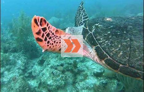 Äkta och oäkta karett samt soppsköldpadda i samma video. Video: Mike Papish, Underwater Exploring