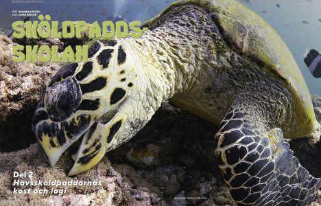 Sköldpaddsskolan, del 2: Havssköldpaddornas kost och logi