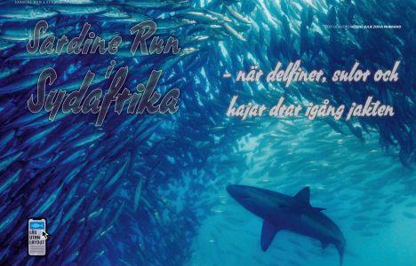 Sardine Run i Sydafrika – när delfiner, sulor och hajar drar igång jakten