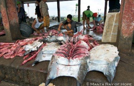 Foto: Manta Ray of Hope / Shark Savers / WildAid