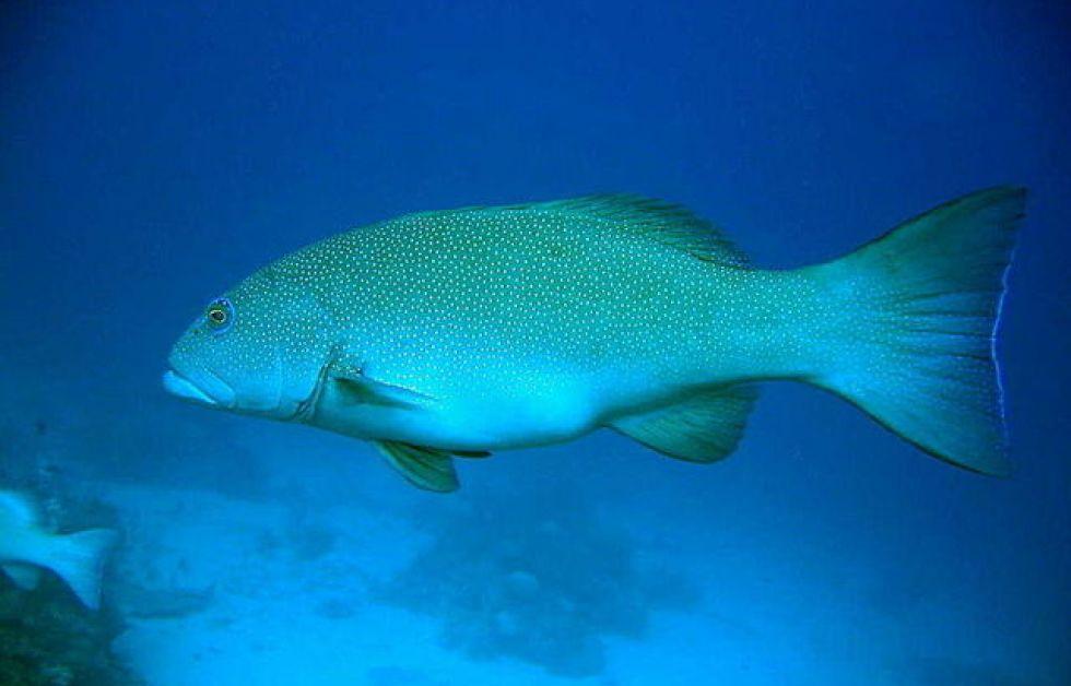 Coral trout Foto: Wikipedia