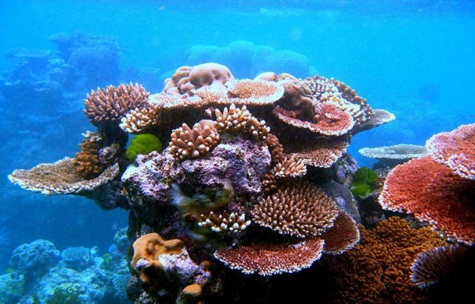 Koraller Foto: Wikipedia