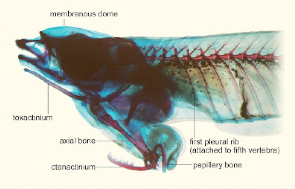 Phallostethus cuulong Foto: L.X. Tran