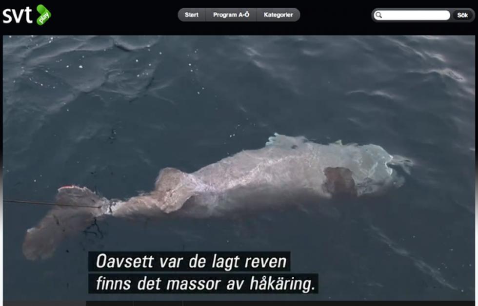 Gott om håkäring vid Svalbard Foto: Svt play