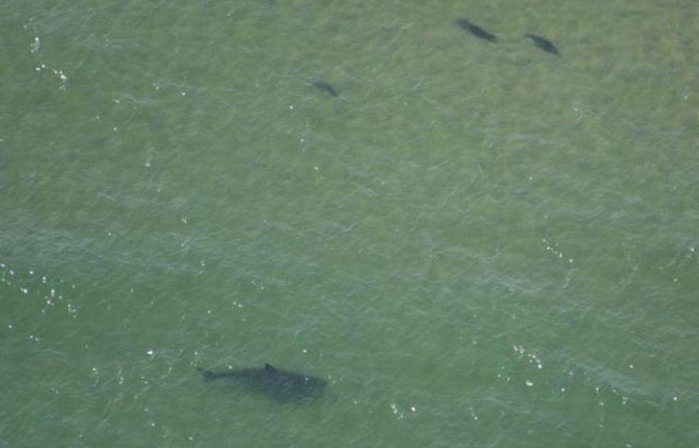 Vithaj på grunt vatten Foto: Cape Cod Shark Hunters