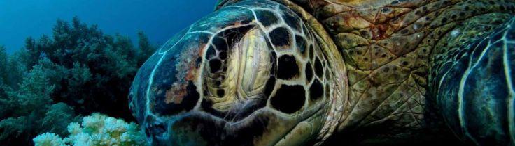 Sköldpadds skolan, del 2: Havssköldpaddornas kost och logi
