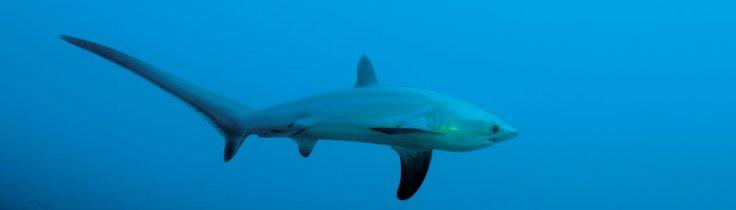 En haj bakom örat