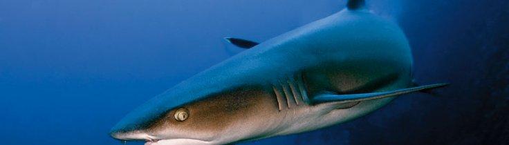 Haj safari – Närgångna möten i Röda havet