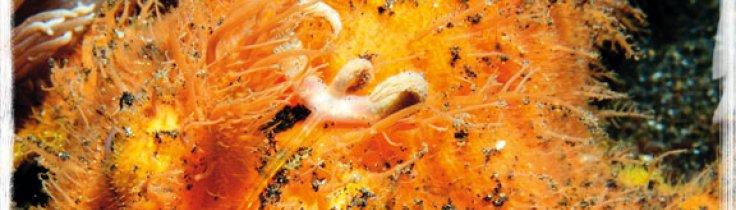 Makro, mimick och mandariner – Lembeh Strait, muck-divingens mecka