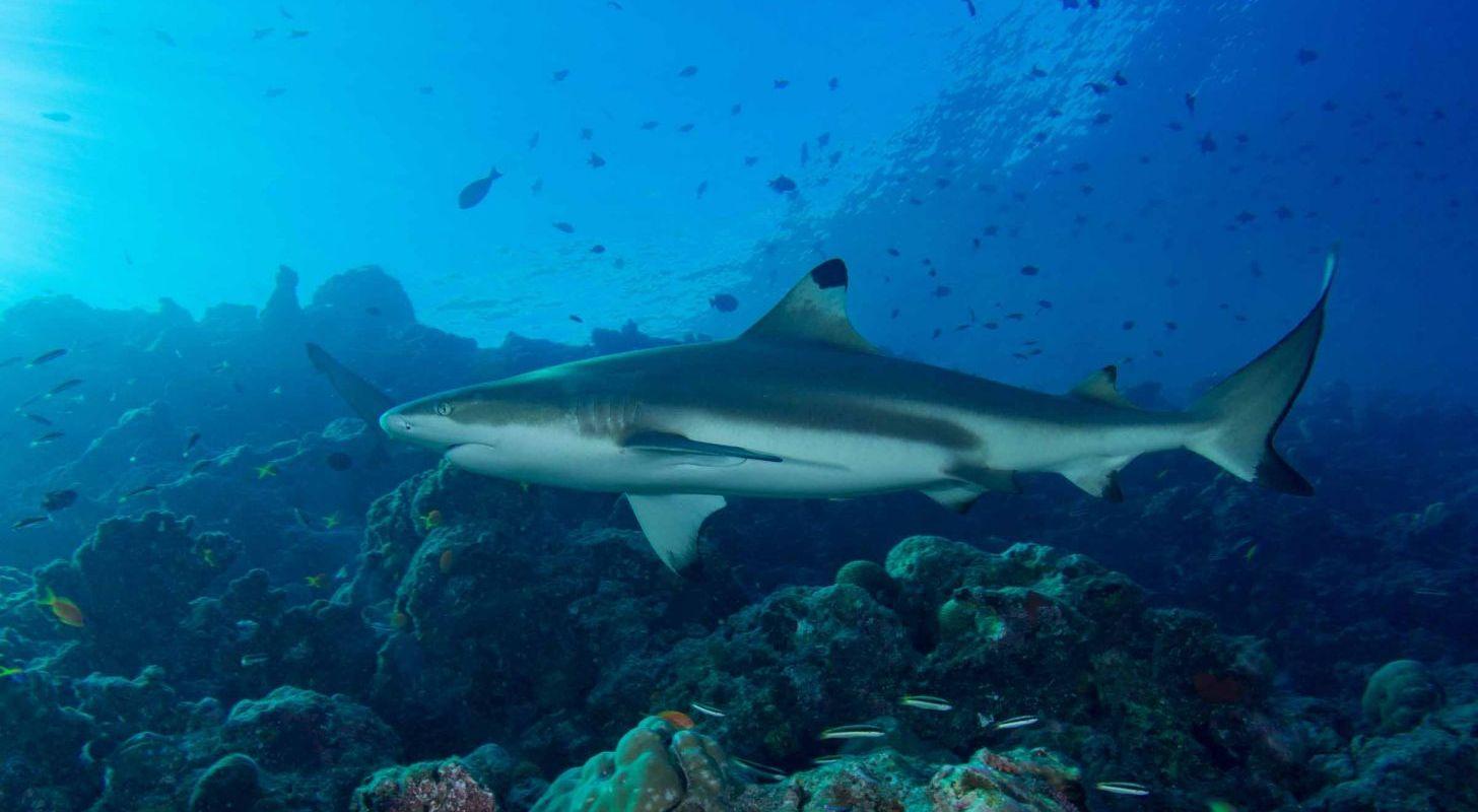 Maldiverna – Stora fiskar och paradisöar