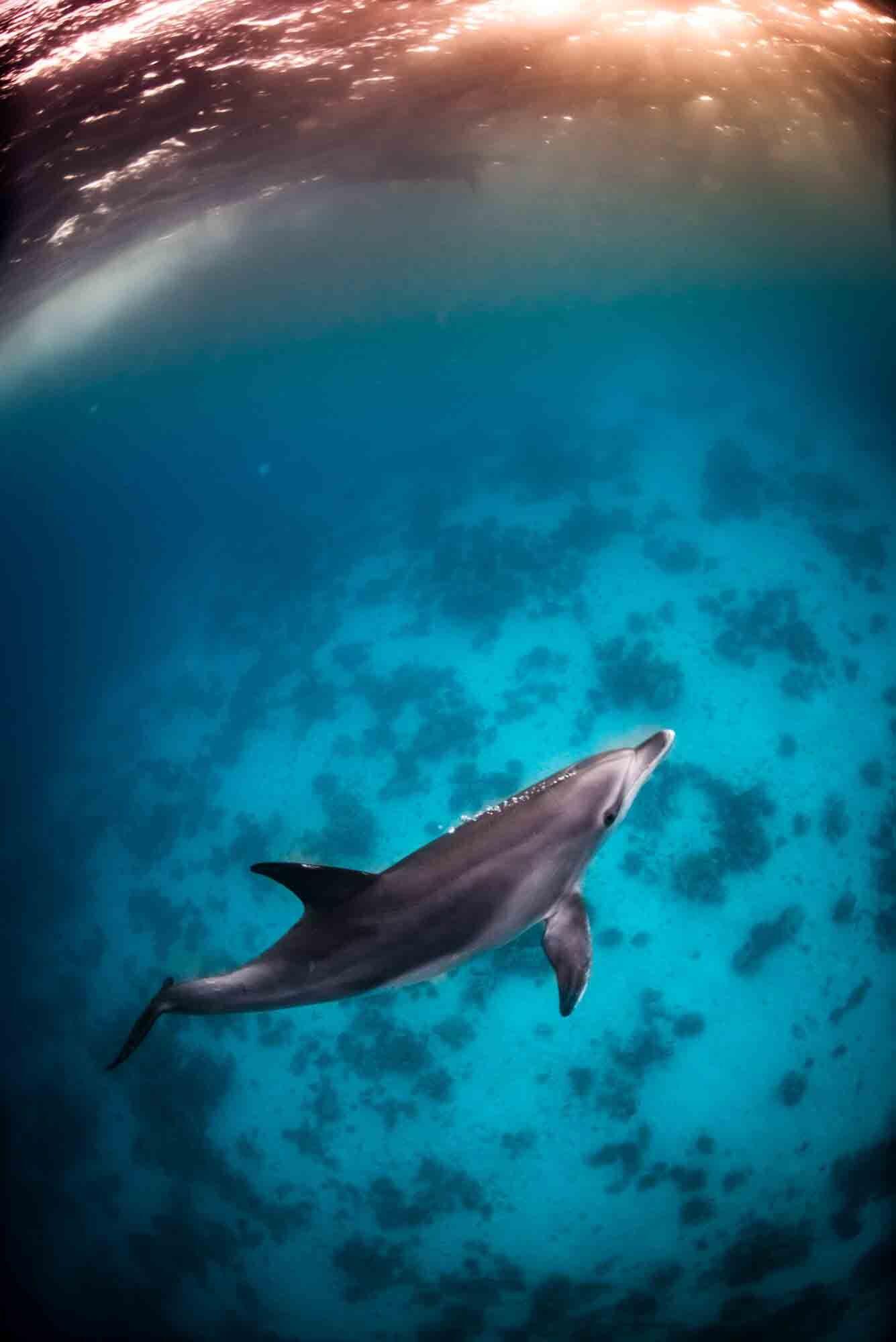 Delfin i solnedgången - Röda havet