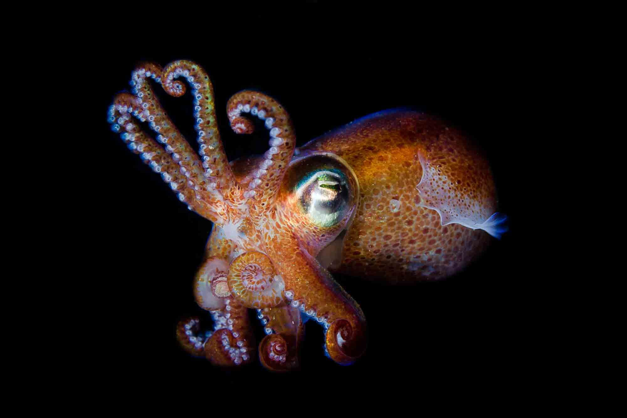En svensk tioarmad bläckfisk
