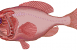 Lyktfisk Bild: Wikipedia